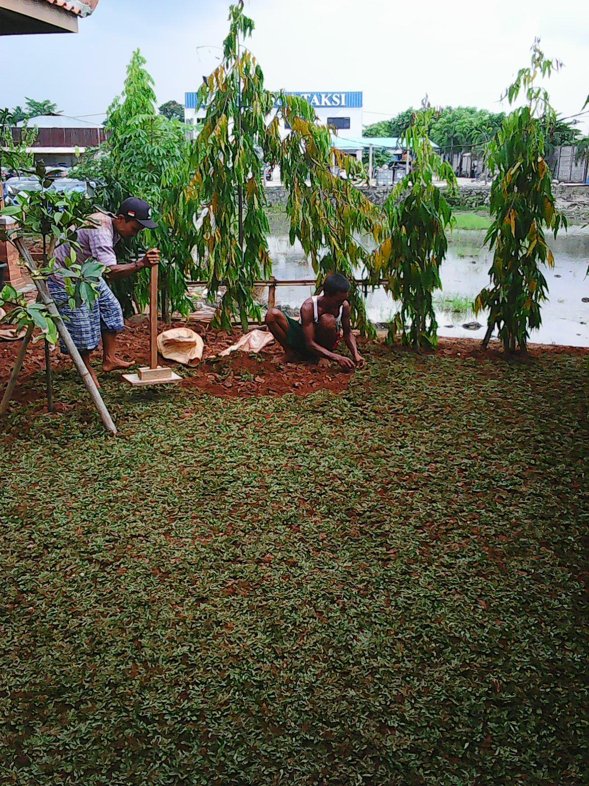 Tukang Rumput Hias Taman Gajah Mini Biji Tanaman Pohon Bermuda Gras Design Relif Minimalis Kolam