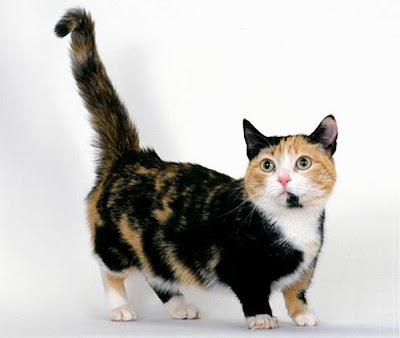 Munchkin Cats Seen On www.coolpicturegallery.us