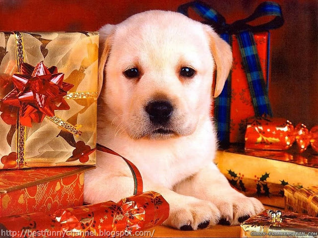 Puppy and Christmas box.