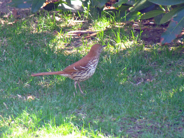 brown thrasher near rhododendrum