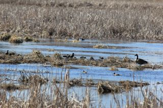 photo of Spring waterfowl in the marsh