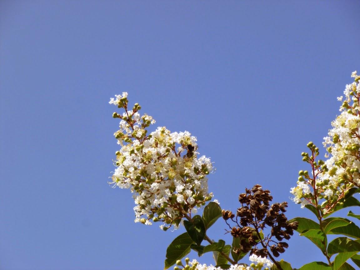 Bee collecting pollen from Natchez crape myrtle