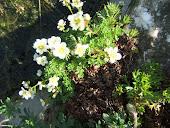 saxifrage white