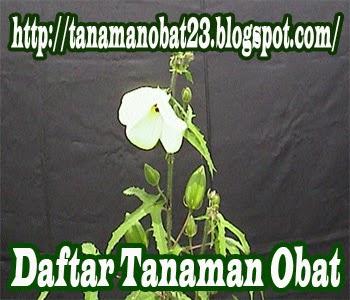 Tanaman Obat Kapasan (Abelmoschus moschatus [L.] Medic.)