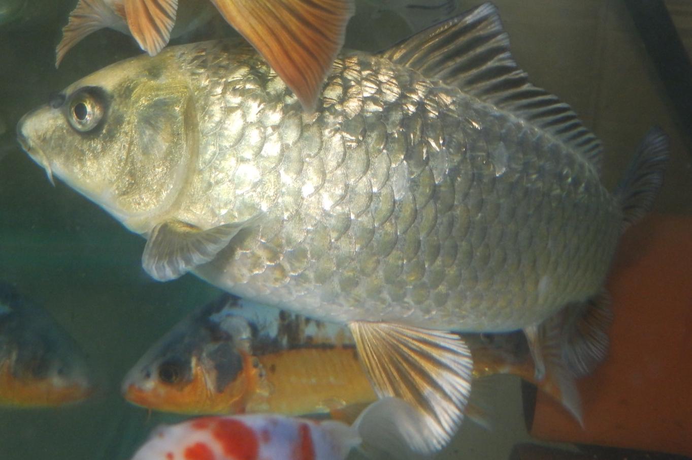 Reptiles amphibians fish gin rin ghost koi for Ghost koi fish