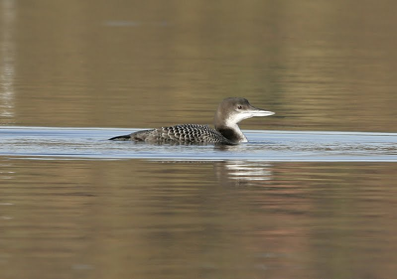 Great Northern Diver (2010)