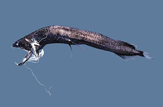Strangest Marine Sea Creatures Dragonfish