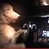 Τι κάνει  ένας σκύλος για να οδηγήσει ένα αυτοκίνητο Subaru...