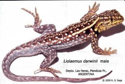 beatigul american lizards