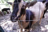 Nigerian Dwarf goat peering through fence