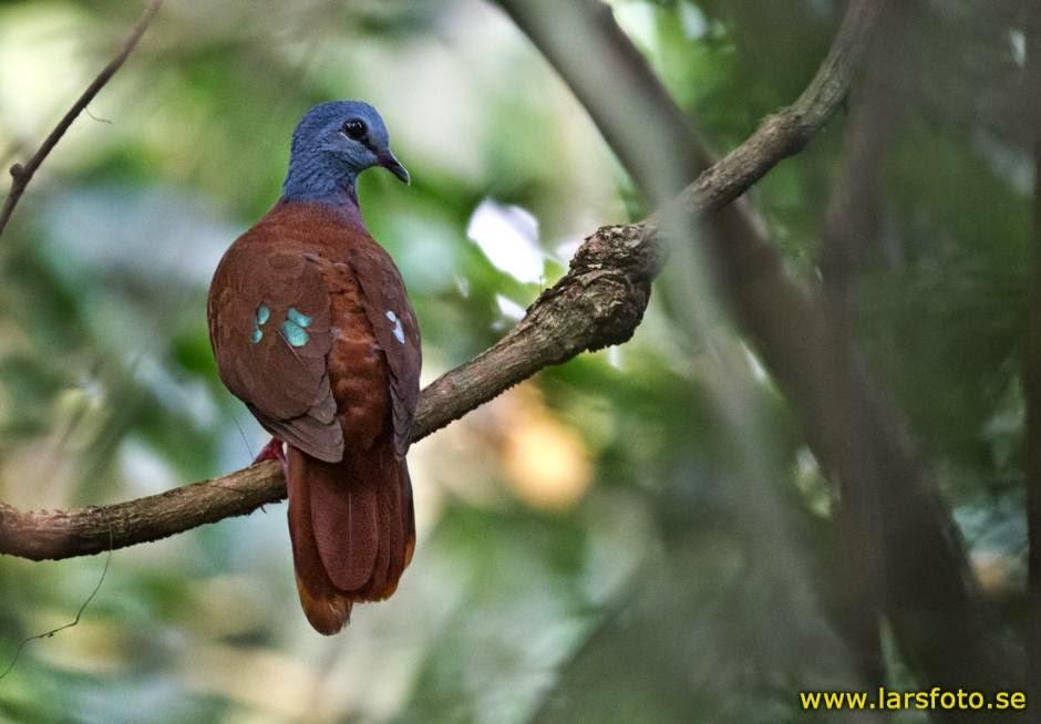 Paloma cabeza azul, Turtur brehmeri