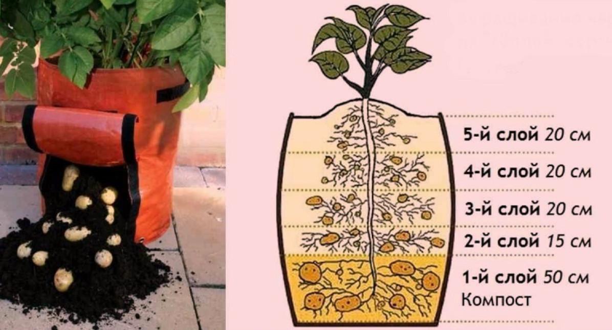 Выращивать картофель в домашних условиях