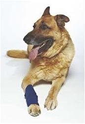 bandaged dog