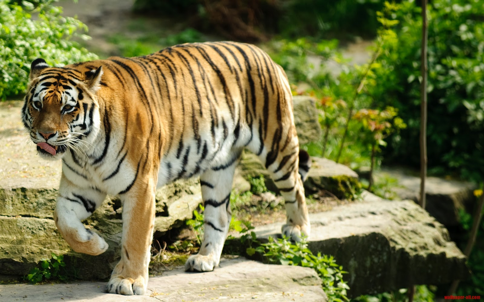 animals wallpapers: african tiger hd wallpapers 2012