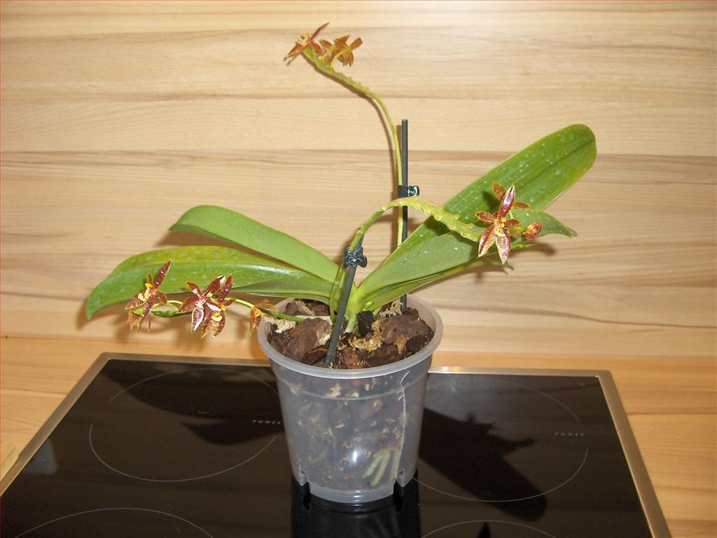 Nice Phalaenopsis Cornu Cervi Orchidea Specie Botanica Con Fiori Rinvaso  Definitivo In Bark