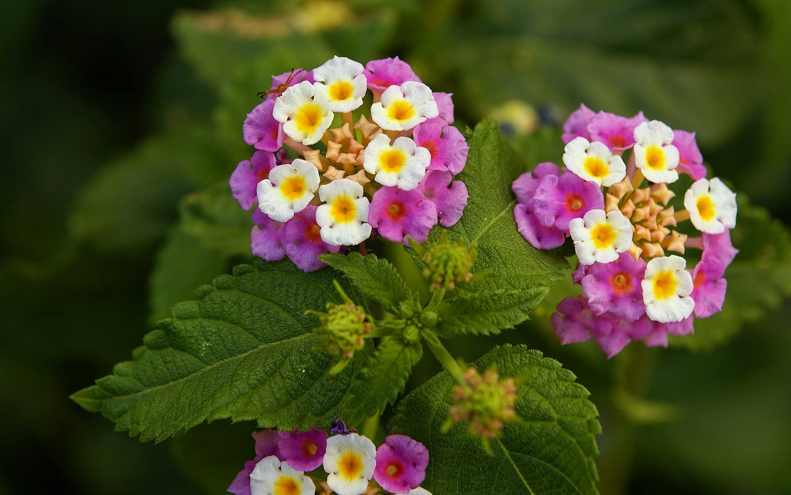 Flower Homes  Lantana Flowers