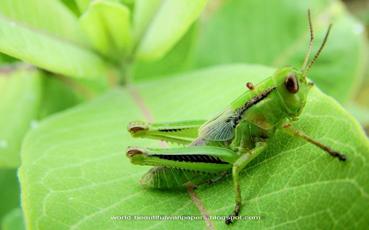 Beautiful Wallpapers: Grasshoppers Wallpaper
