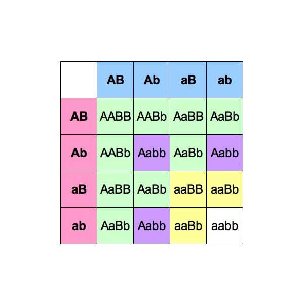 Go Back > Gallery For > Mendel Punnett Square