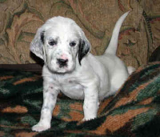 English Setter Puppies on Florida Hunting  English Setter Puppies For Sale Field Dogs