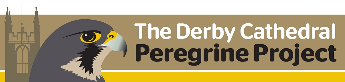 Derby Cathedral Peregrine Project - 2013