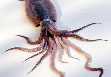 embarazada de un calamar
