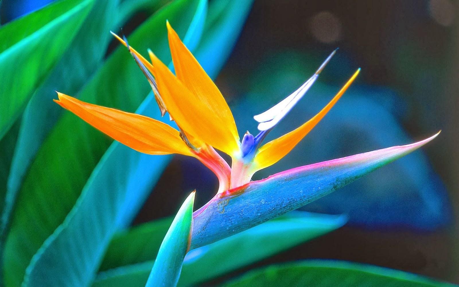"<img src=""http://2.bp.blogspot.com/-Egsis7L97qg/UtujCBctuTI/AAAAAAAAI7k/LPvTDsSes0I/s1600/bird-of-paradise.jpg"" alt=""bird of paradise"" />"