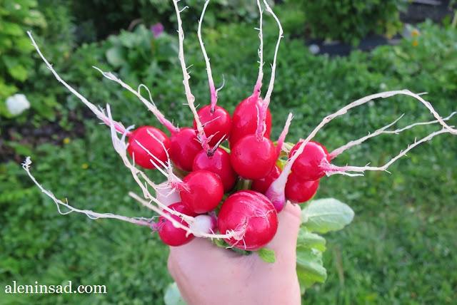 редис, редиска, пучок редиски, сорта, фараон, черри белле, faraon, cherry belle, аленин сад, выращивание редиса, редиски, за 18 дней,