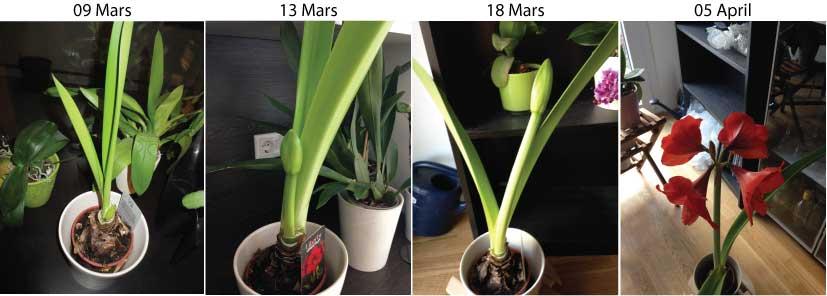 Orchid es au fil du temps amaryllis floraison 2015 for Amaryllis ne fleurit pas