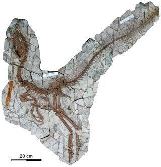 Sinocalliopteryx fossil