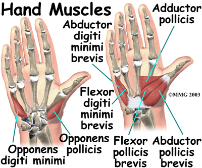 Toms Physiotherapy Blog Finger And Hand Anatomy And Grip