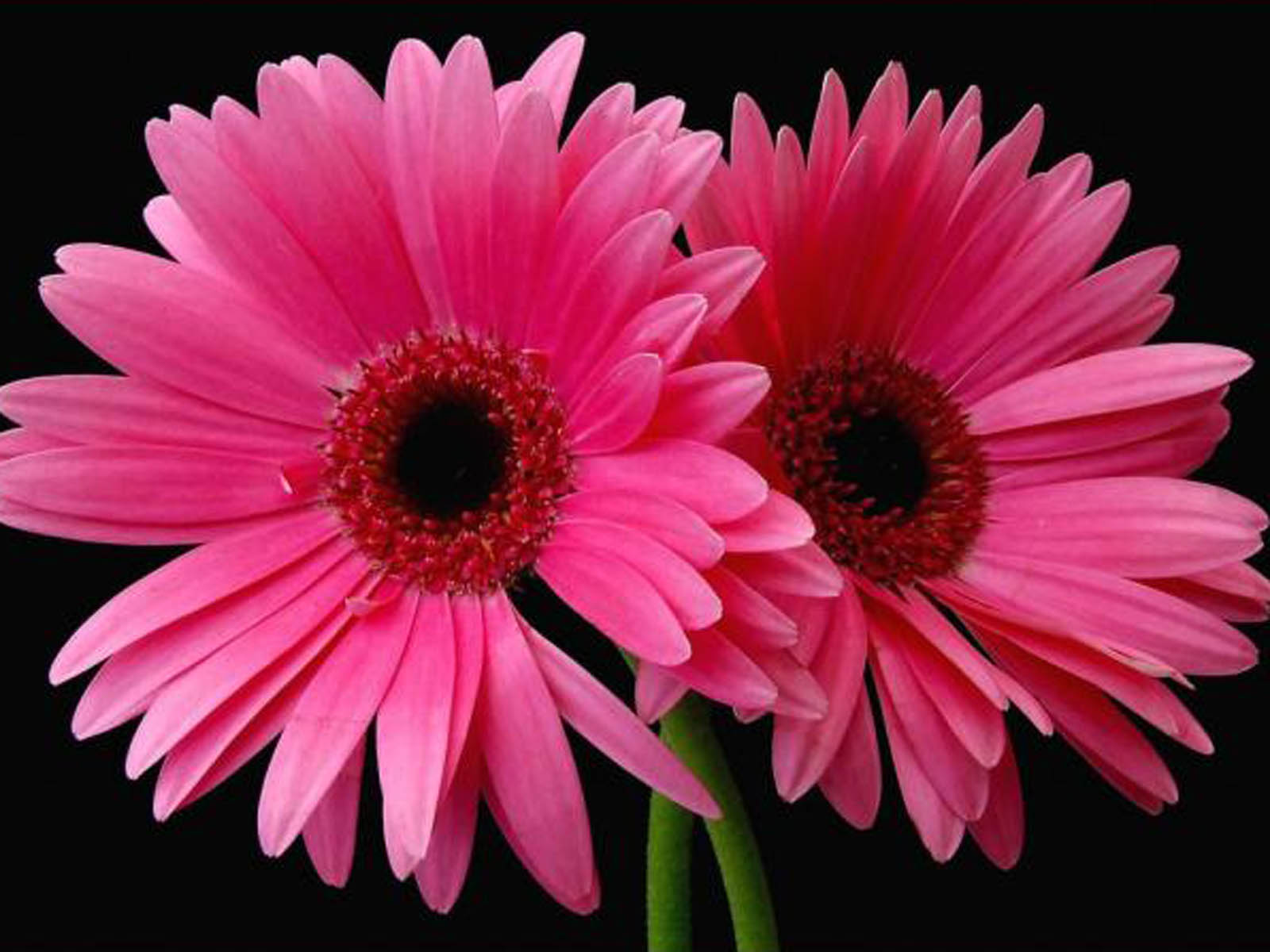 Pink Daisy Backgrounds