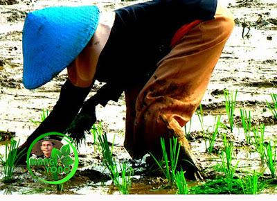 Tandur / Tanju menanam bibit padi disawah dengan cara maju.