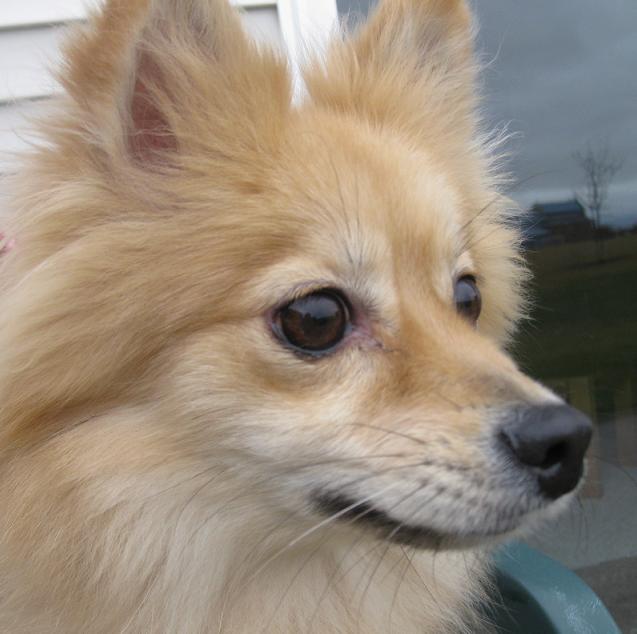 The Chihuahua Pomeranian Mix Pomchi ... Pomeranian Mix