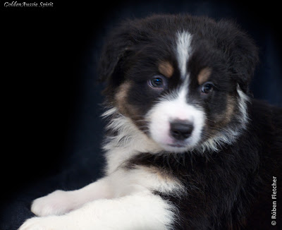 tri-black australian shepherd puppy