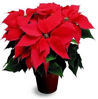 Regalar planta para navidad