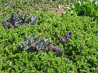 Creeping Jenny growing around sea kale in the spring