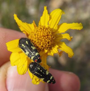 Acmaeodera amabilis