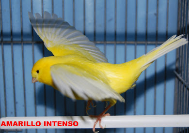 AMARILLO INTENSO