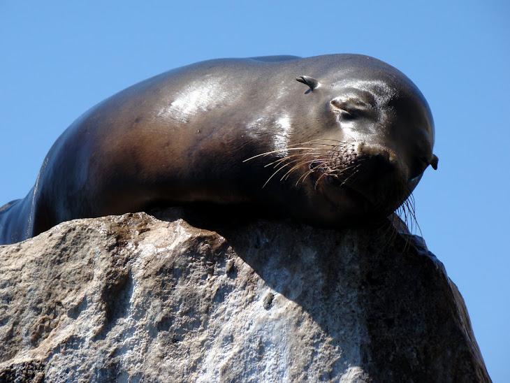 Cabo Sea Lion
