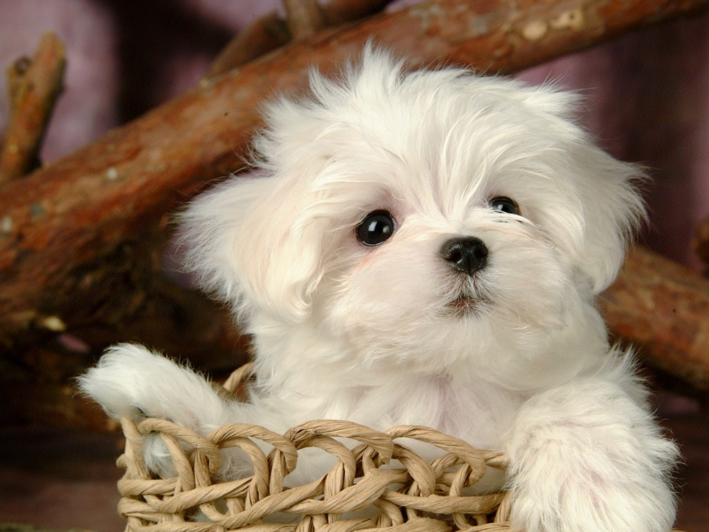 Cutest White Puppy Photo on this Dogs Wallpapers Backgrounds website