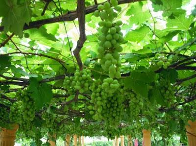 Cara Menanam Anggur Supaya Cepat Berbuah