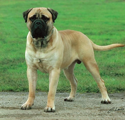 Mastiff Puppies on Dog Breed   Dog Breeds   Dog Pictures  Bull Mastiff Dog