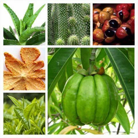 bahan bahan dalam Garcinia Burner