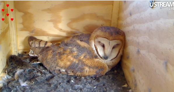 Live Owl Cam