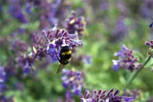Bees love nepeta