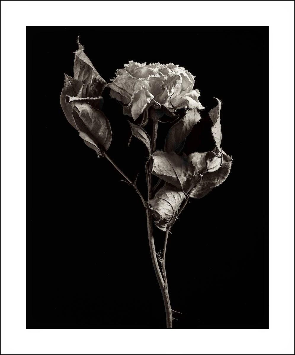 Derek Anson, fine art, monochrome flower, black and white, faded rose,