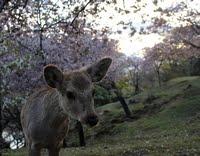 Les Sika de Nara