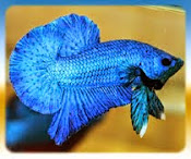Betta blue fullmark