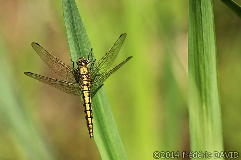 animaux insecte libellule orthétrum réticulé macro forêt Rougeau Seine-et-Marne