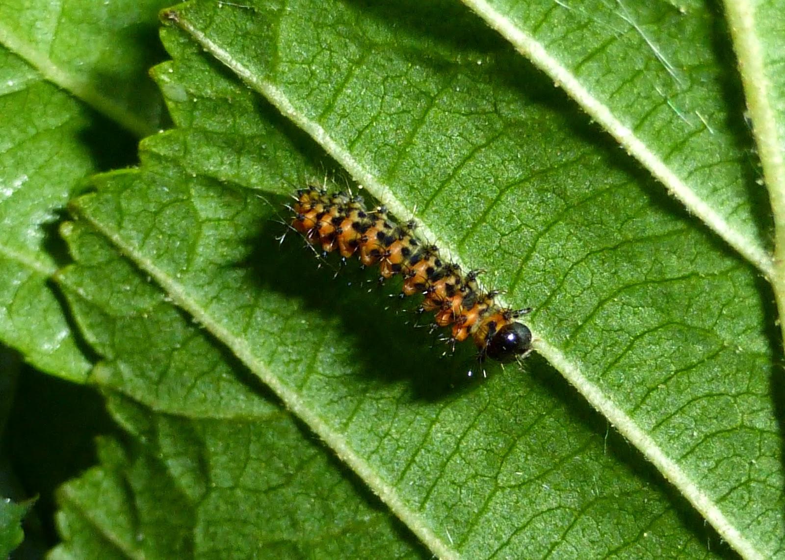 Actias sjoeqvisti L2 caterpillars